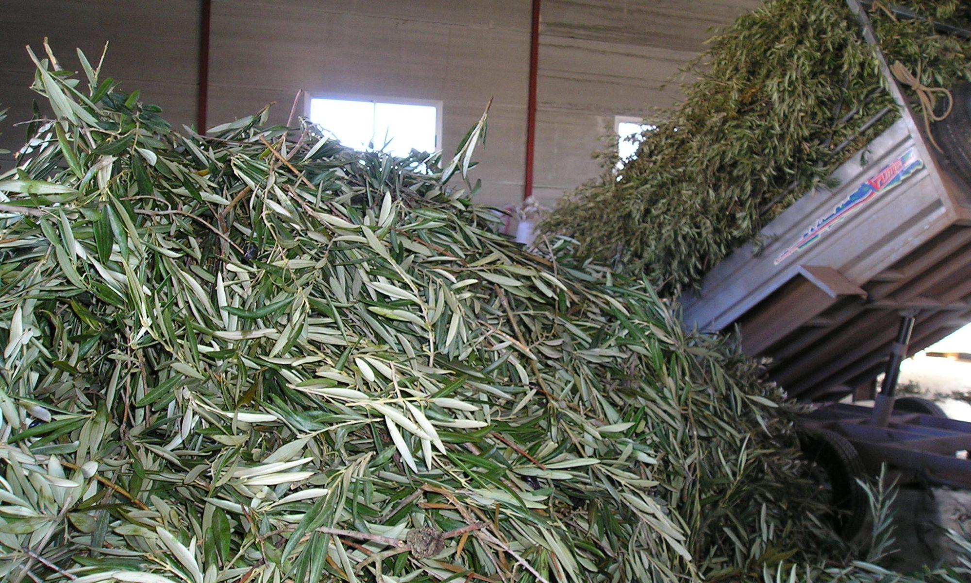 Hoja de olivo Peñarrubia del Alto Guadiana